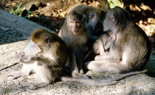 Monkey Temple Gang
