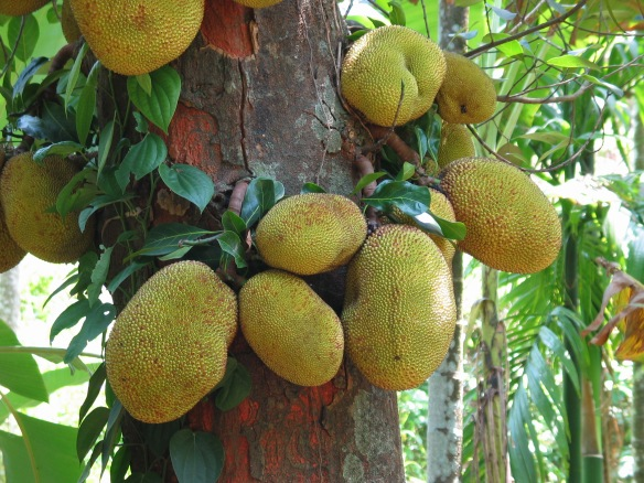 Jackfruit, southern Goa, India