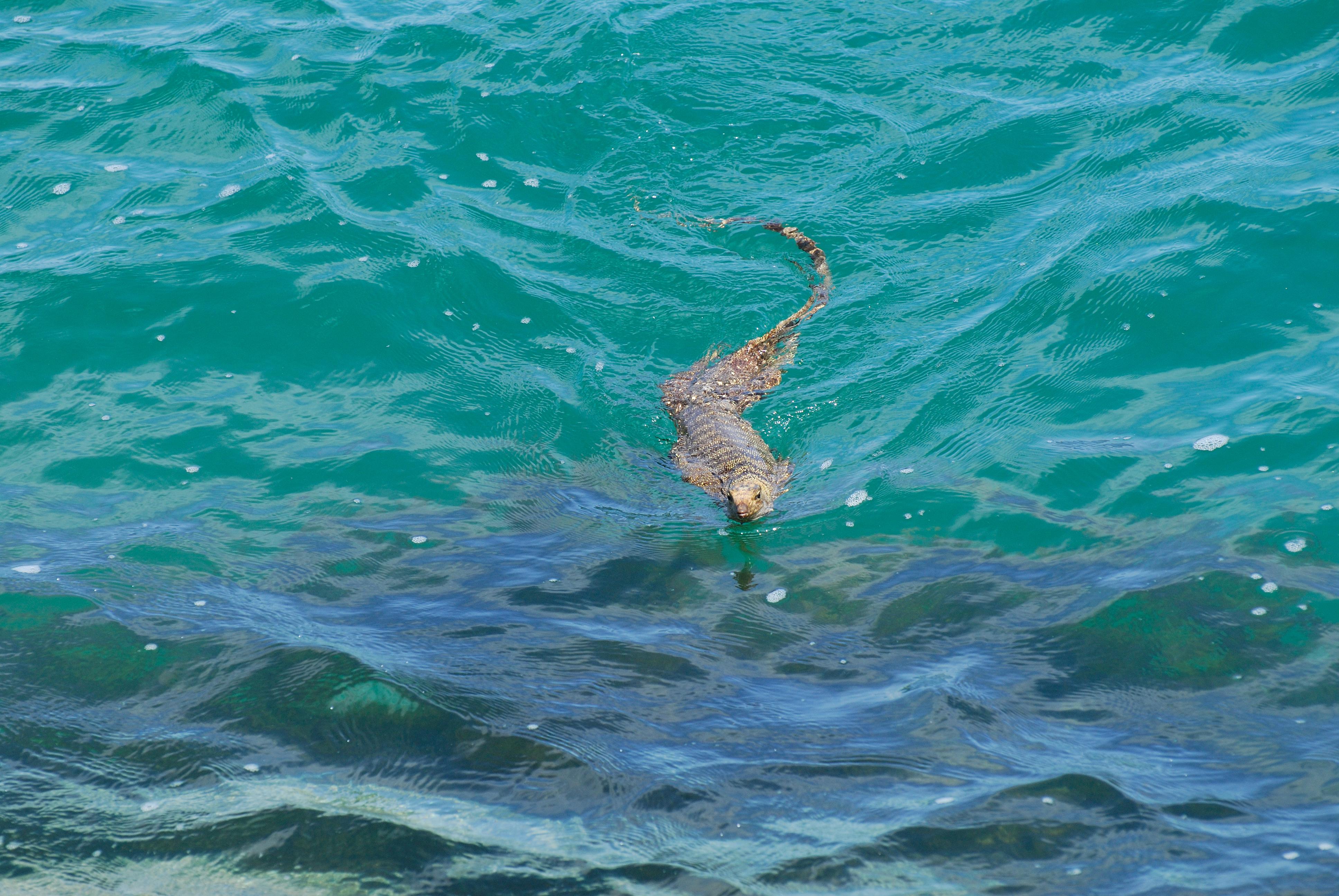Look! It's a fish! No, it's an alligator! No, it's a... swimming giant lizard?!?!